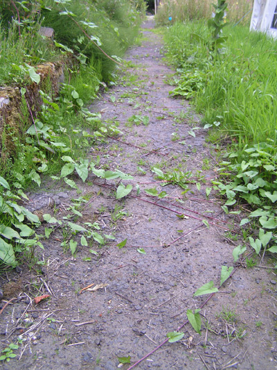 Bindweed taking over the path