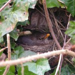 blackbird in the ivy