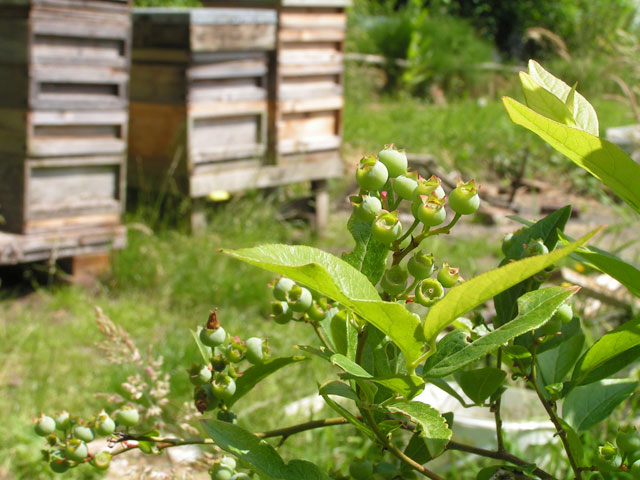 blueberries and beehives